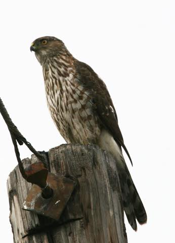 martin pierce redtail hawk on utility pole