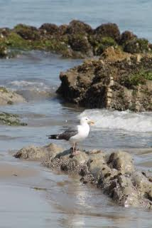 Ubiquitous seagull at Carpinteria State Beach.  Notice how they always pose! Martin Pierce Hardware