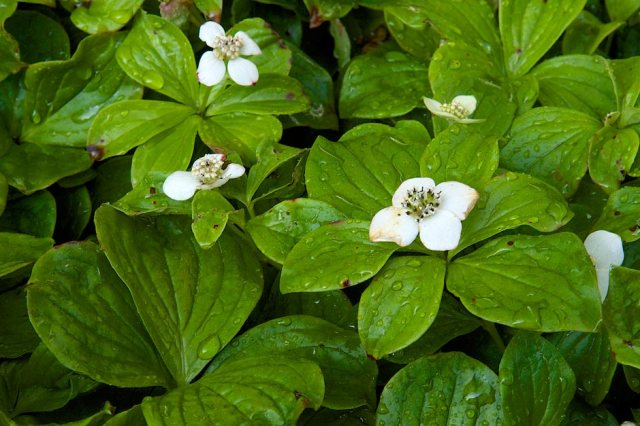 Dogwood blooms at the Chelsea Garden Show 2014