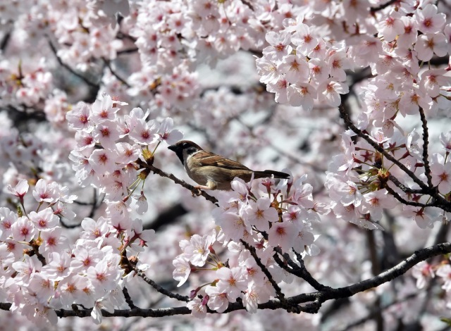 Beautiful cherry blossoms in bloom in Tokyo photo by YOSHIKAZU TSUNO/AFP/Getty Images  Martin Pierce Hardware Los Angeles CA  90016